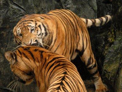 Тигру прописали виагру