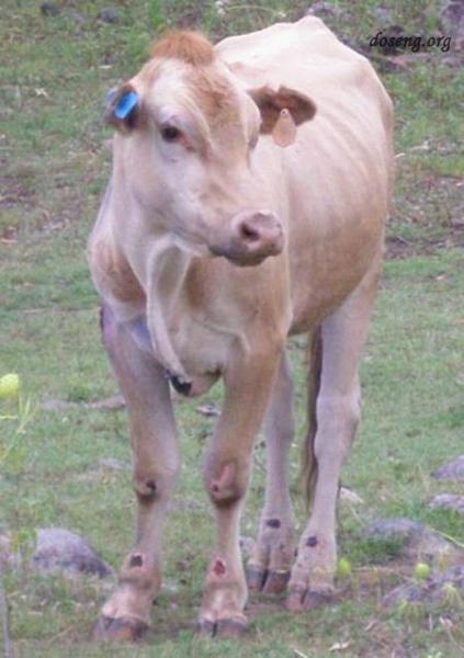 Корова, которую ударила молния (2 фотографии)