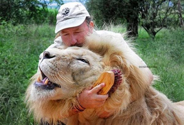 Дружба со львами (5 фото)