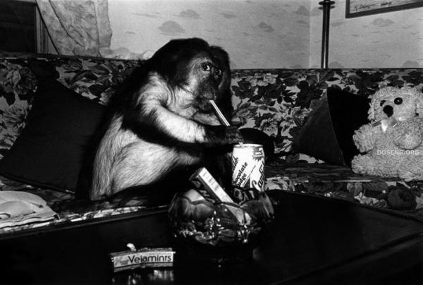 Если в доме обезьяна... (18 фото)