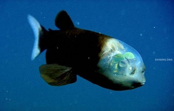 Рыба с прозрачной головой (10 фото)