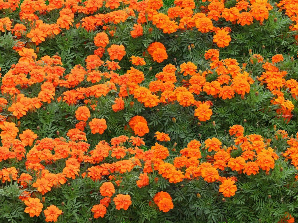 Оранжевые многолетние садовые цветы фото и названия