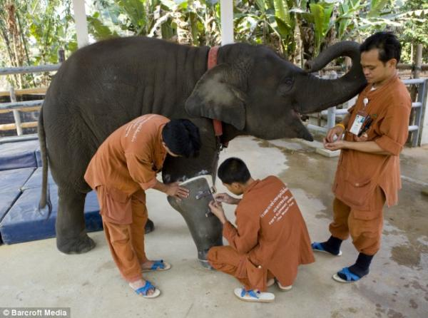 Спасение слонихи Моши (3 фото)