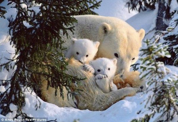 Первые шаги медвежат (6 фото)