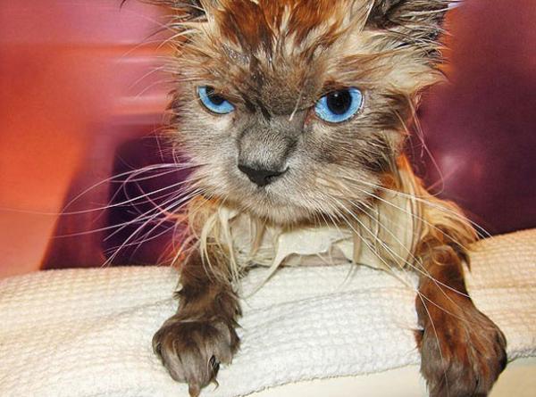Прикольная фотоподборка мокрых котов (35 фото)