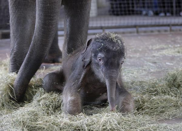 Первые шаги слоненка Ko Raya (15 фото)