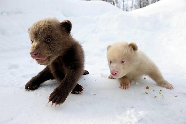 Необычные медвежата в заполярном Bardu (Норвегия) (14 фото)