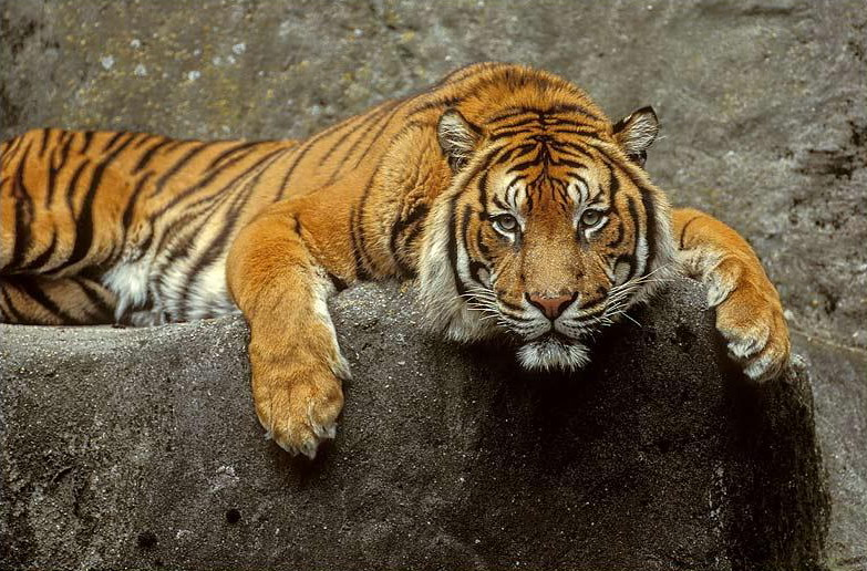 тигр фото живой