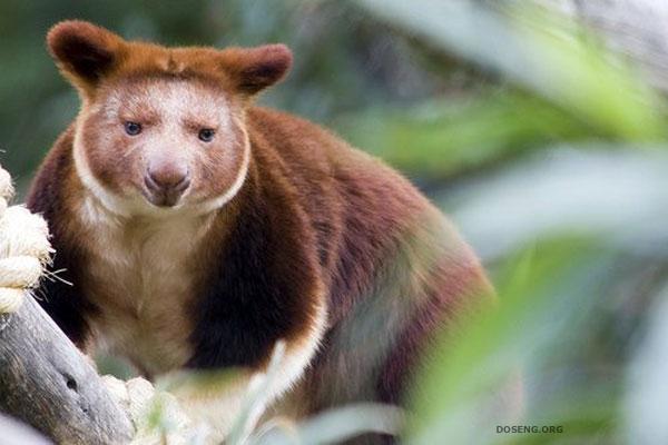 Чудо природы - Древесные кенгуру (8 фото)