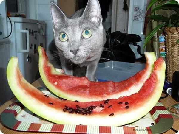 Коты арбузоеды (38 фото)
