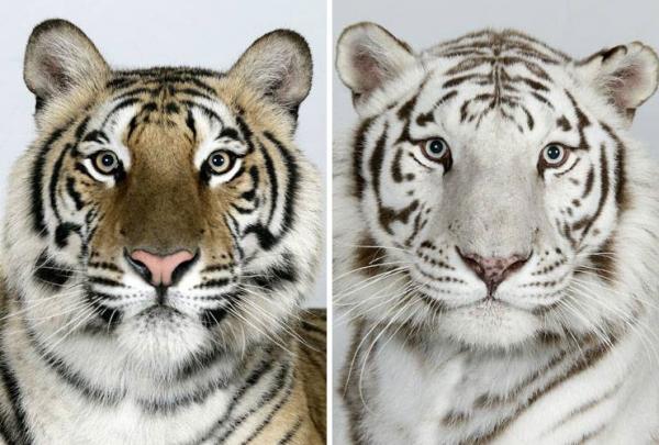 Портреты тигра (18 фото)