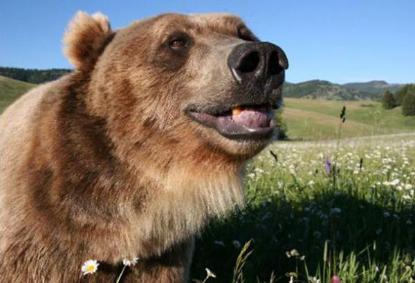 История медвежонка Брута (25 фото)