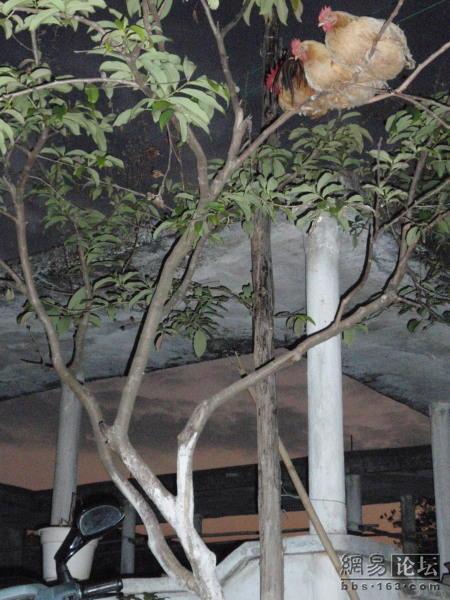 Китайские куры (9 фото)