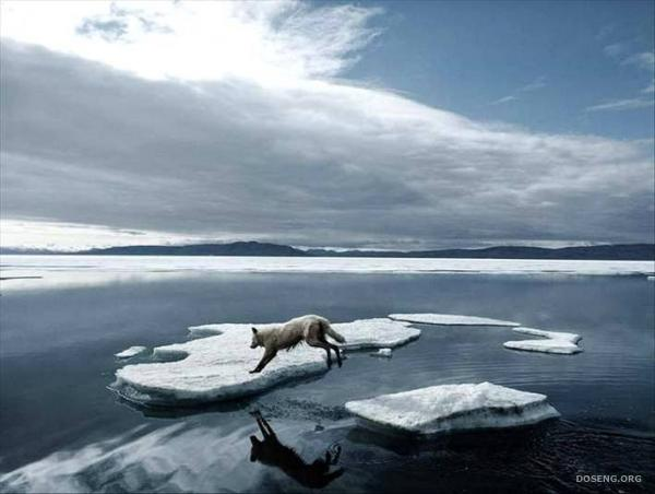 arctic wolf facts for kids.  Facts,information and live in statistics...