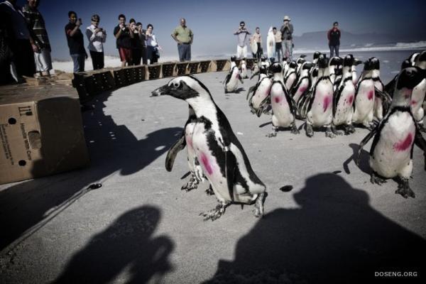 Спасение пингвинов (13 фото)