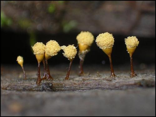 Микроскопические грибы (23 фотографии)
