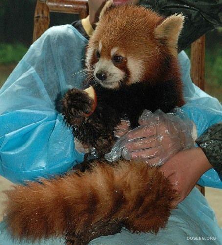 Красная панда (10 фото)