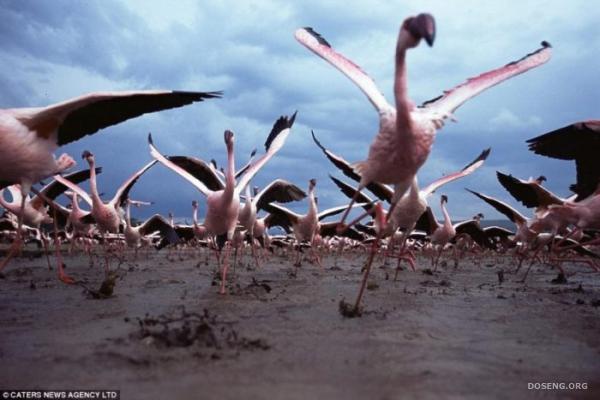 Розовый фламинго в опасности (3 фото)