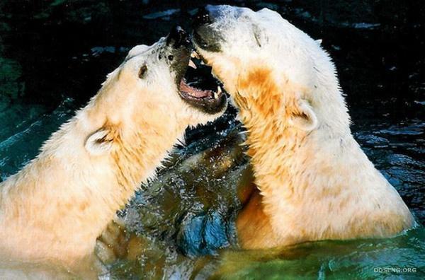 Белые медведи в зоопарке Северной Каролины (16 фото)