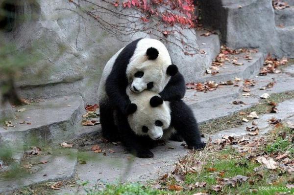 Панды (39 фото)