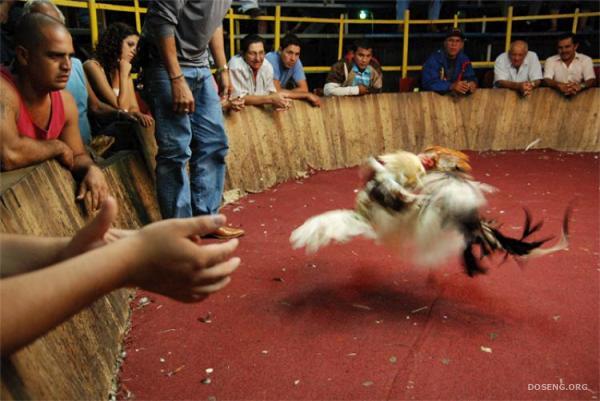 Петушиные бои в Коста-Рике (15 фото)