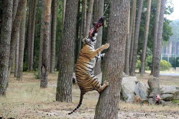 Приют для восьми тигров (3 фото)