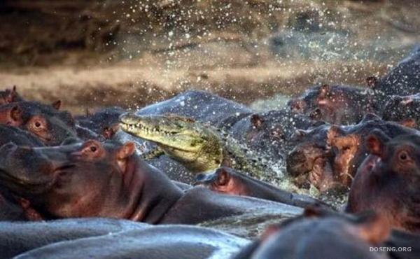 Бегемот скушал крокодила (3 фото)