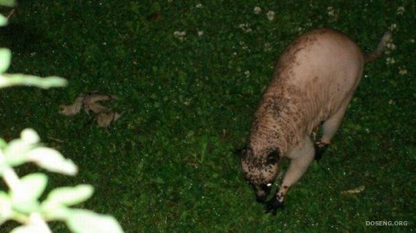 Бедняга, облысевший енот (5 фото)