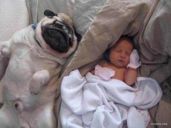 Младенец и мопсики (4 фото)