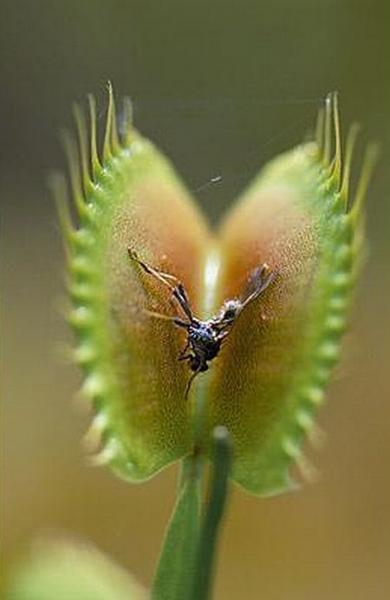 Хищные растения (44 фото)