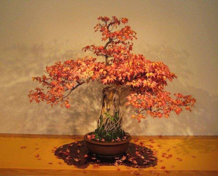 Японские деревья бонсай 17 фото