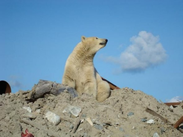 Медведь забрел на стройку (17 фото)