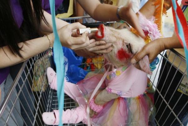 Свино-фестиваль в Филиппинах (7 фото)