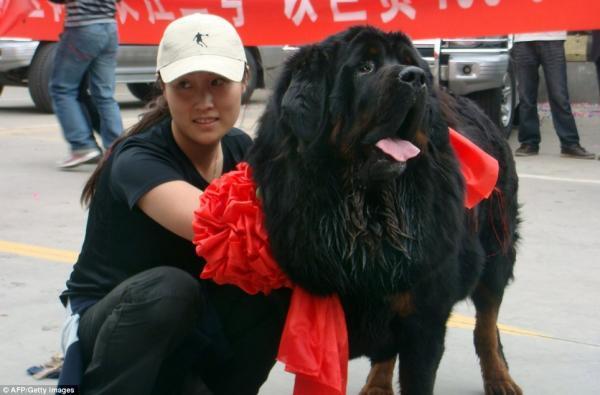 Самая дорогая в мире собака в Китае (2 фото)