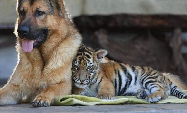 Дружба собаки и тигренка (4 фото)