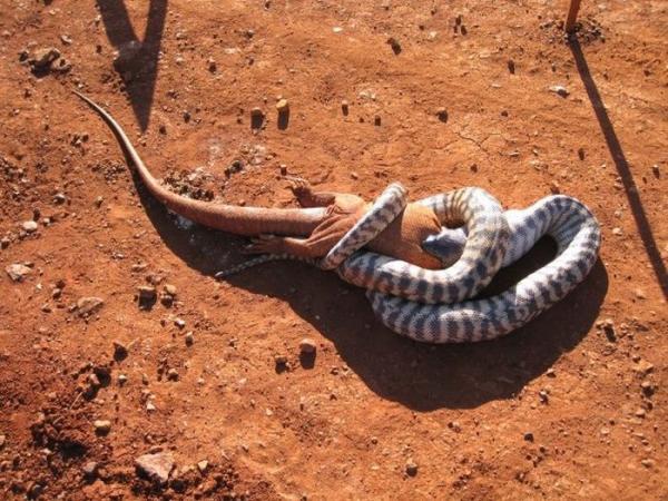 Змея съела ящерицу (13 фото)