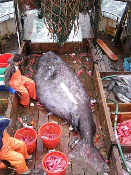 Рыбаки поймали страшную рыбу.