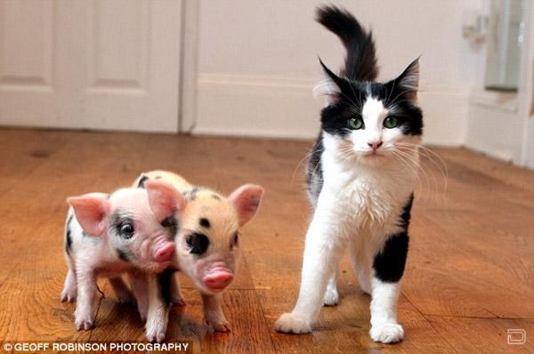 Микро-свинки (7 фото)