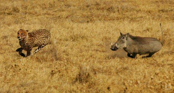 Кабан против гепарда