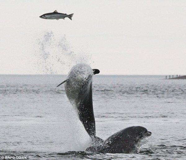 Погоня дельфинов за лососем (4 фото)