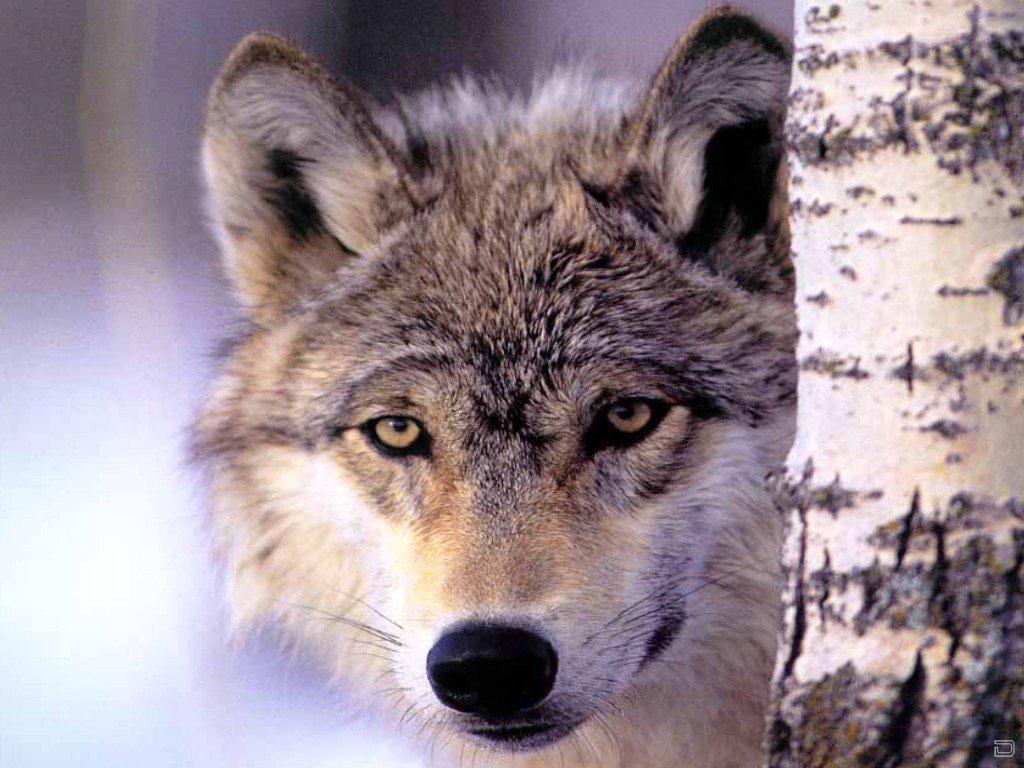 Подборка фотографий волков в их естественной среде обитания.