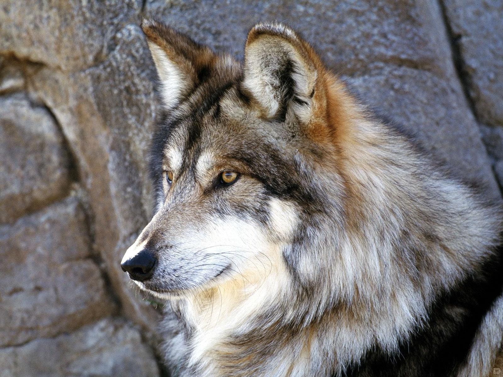 В каждом человеке идет борьба, очень похожая на борьбу двух волков.