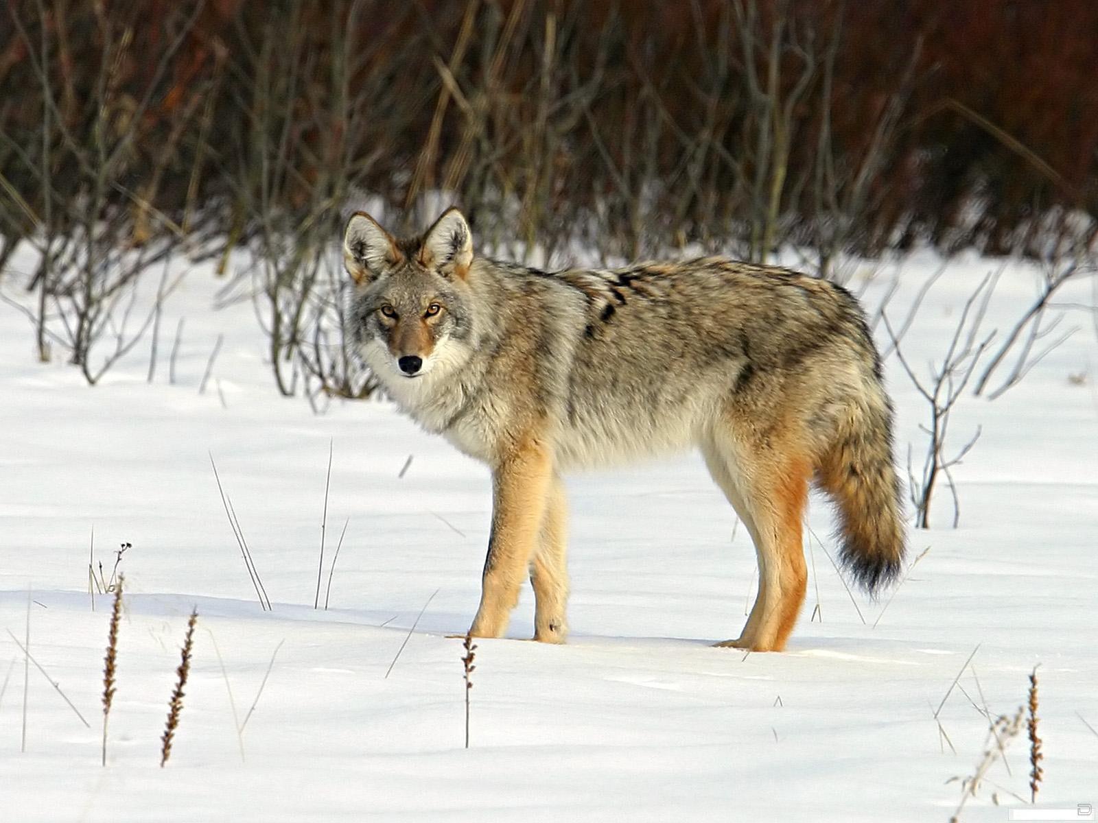 Дикие животные волки картинки