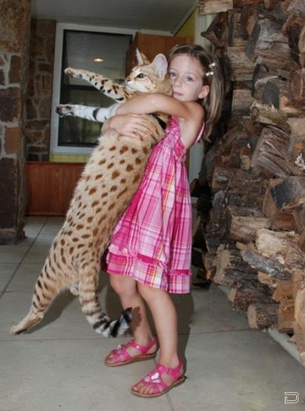 Самый высокий домашний кот в мире (12 фото)