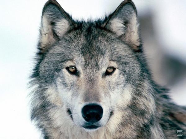 Волки - одни из самых верных животных, они сильно