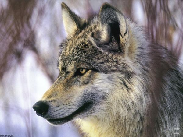 piterskiy. добавления новостей красивую подборку волков,действительно...