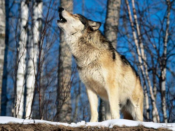 http://doseng.org/uploads/posts/2009-10/thumbs/1256321652_wolf42_1024x768.jpg