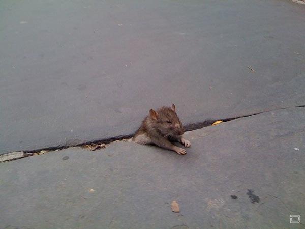 老鼠卡在地缝里引发一系列的恶搞