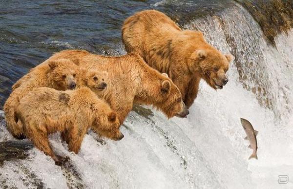 Как мать медвежат ловить рыбу учит (3 фото)