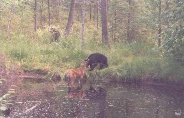 Неравная схватка между оленем и медведем.